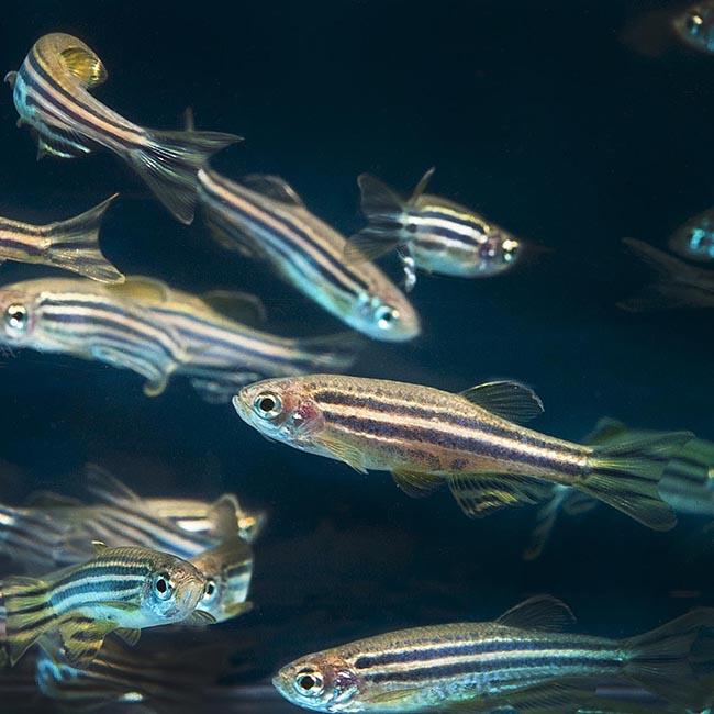 Experiências sociais impactam o peixe-sebra desde tenra idade.